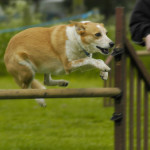 dog during a hurdle jump